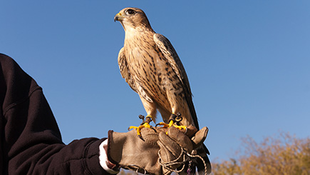 40% off Bird of Prey Falconry Experience